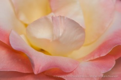 Peach_&_Yellow_Rose,_6.23.15