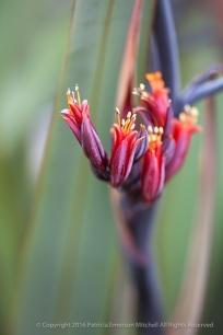 Phormium_Flowers,_5.18.15