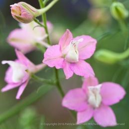 Pink Larkspur,_Squared,_5.5.15