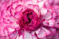 Pink_&_White_Ranunculus,_2.3.15