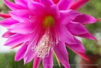 Pink Epiphyllum, 9.9.15
