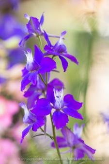 Purple_Larkspur,_5.5.15