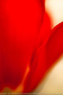 Red_Tulip_Petal_Line,_3.13.14