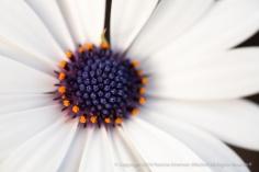 White Osteospermum, 2.3.15