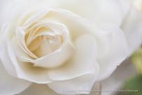 White Rose (I), 12.2.15