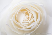 White_Rose_(II),_12.2.15