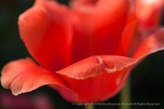 Bright Tulip, 2.16.15