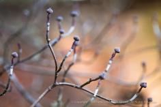 Dogwood Buds, 1.10.15