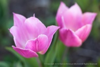 Pink Tulips, 2.25.14