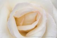 White Rose, (I), 10.19.15