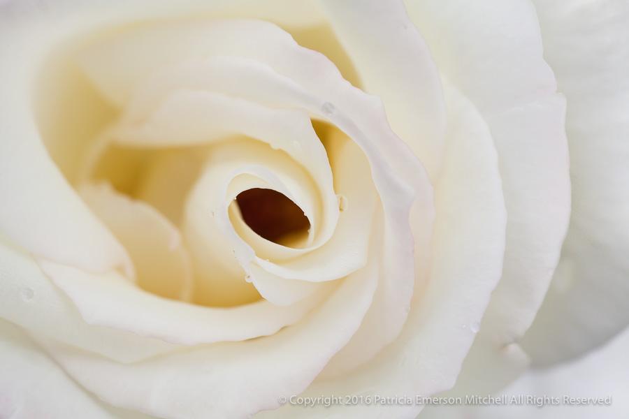 White_Rose,_(II),_10.19.15.jpg