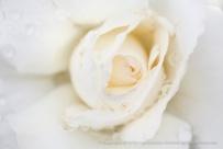White_Rose,_(III),_10.19.15