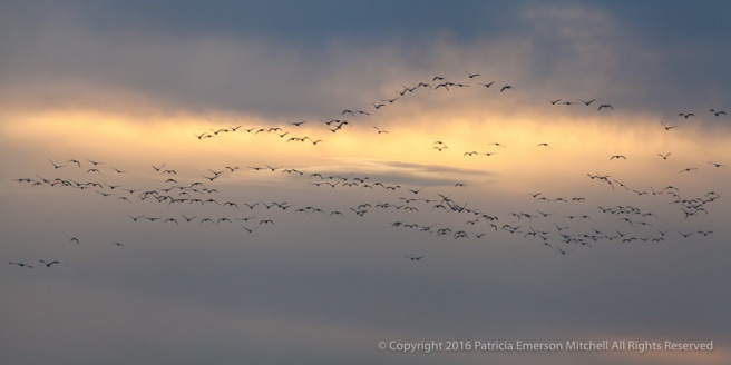 Geese_at_Sunset,_2.28.16