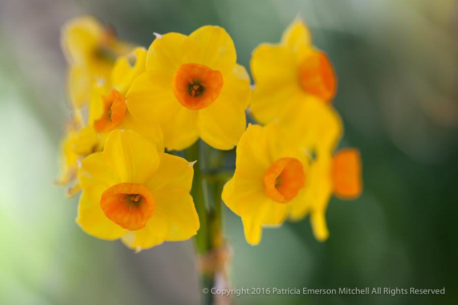 Yellow_&_Orange_Narcissus,_1.10.13.jpg