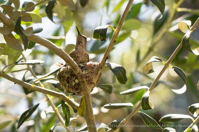 Hummingbird_Nest,_5.16.16.jpg