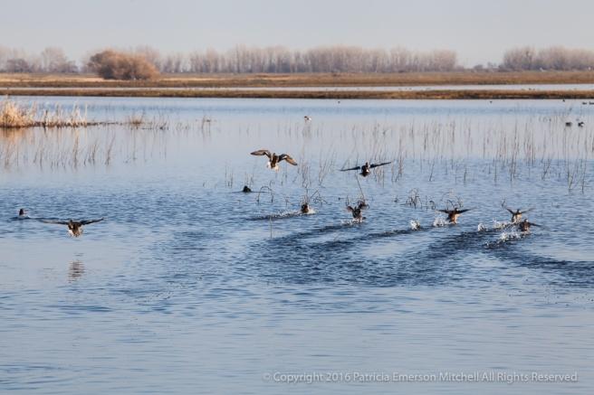 Ducks_On_The_Pond,_1.1.16.jpg