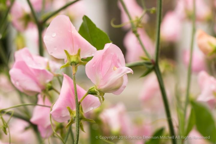 Pink_Sweet_Peas,_4.11.16.jpg