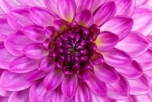 Dahlia-_Pink,_White_and_Yellow,_7.7.14