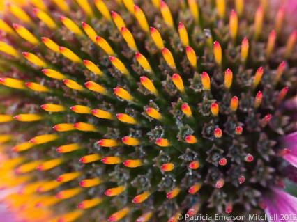 Echinacea_purpurea_Close-Up