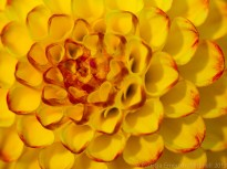 Yellow_&_Red_Dahlia