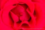 Red Rose, 9.19.16
