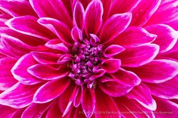 Bright Pink & White Dahlia, 7.5.16