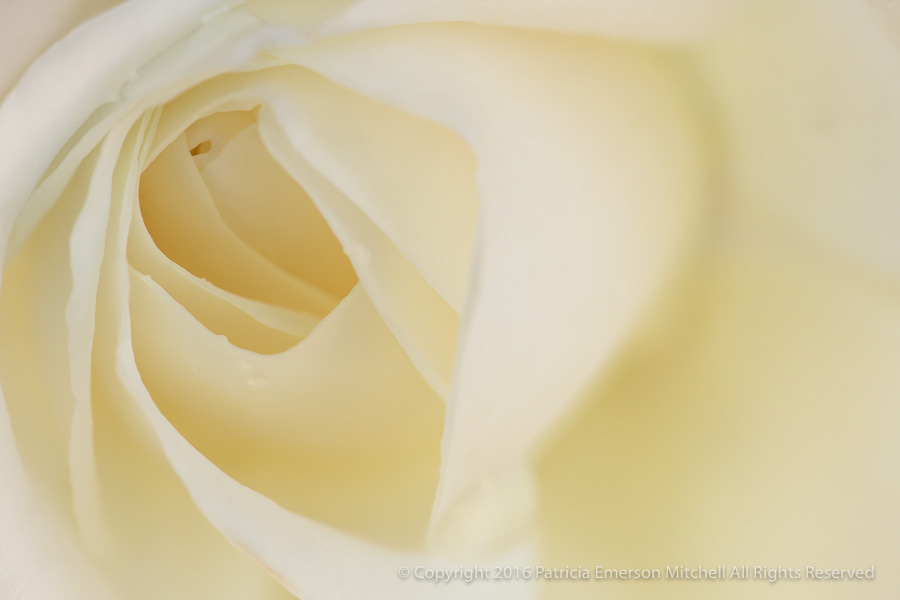 Cream_Rose,_10.17.16.jpg