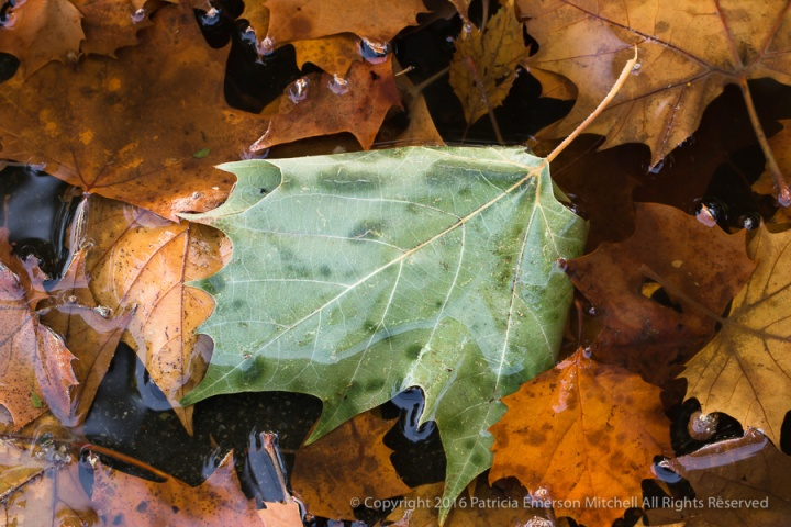 Gutter_Leaves_(II),_10.17.16.jpg