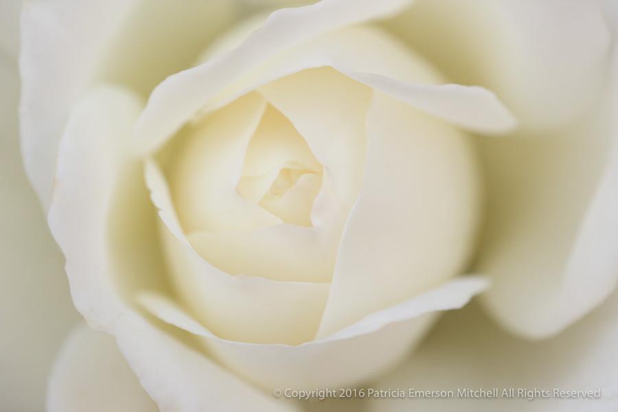 White_Rose_(II),_9.2.16.jpg.jpg