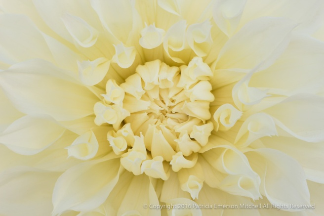 Cream_Colored_Dahlia,_7.6.16.jpg