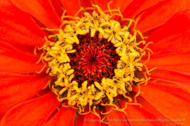 Orange_Zinnia,_10.28.16.jpg