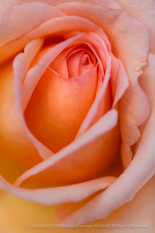 Pastel_November_Rose,_11.3.14.jpg
