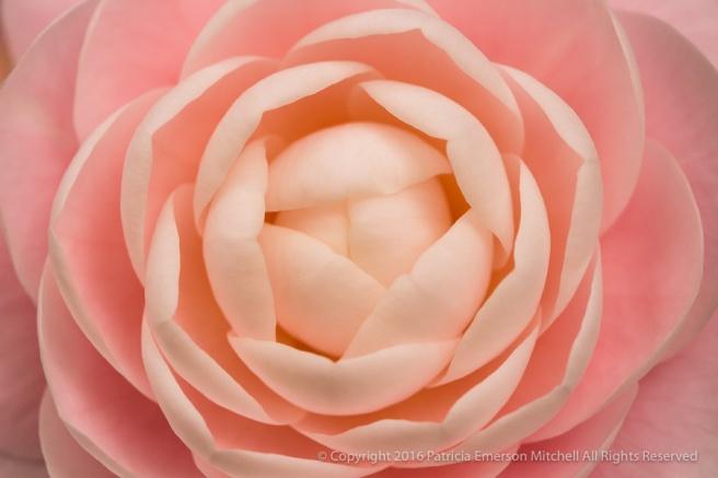 Pink_Camellia,_11.14.16.jpg