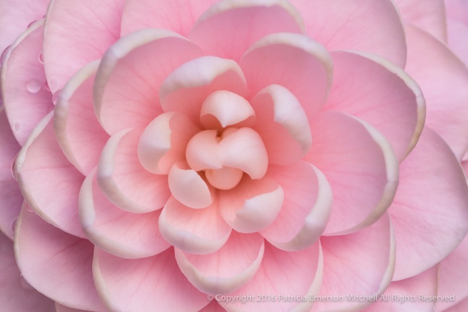Pink_Camellia,_11.21.16.jpg