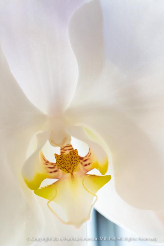White_Orchid,_11.23.16.jpg