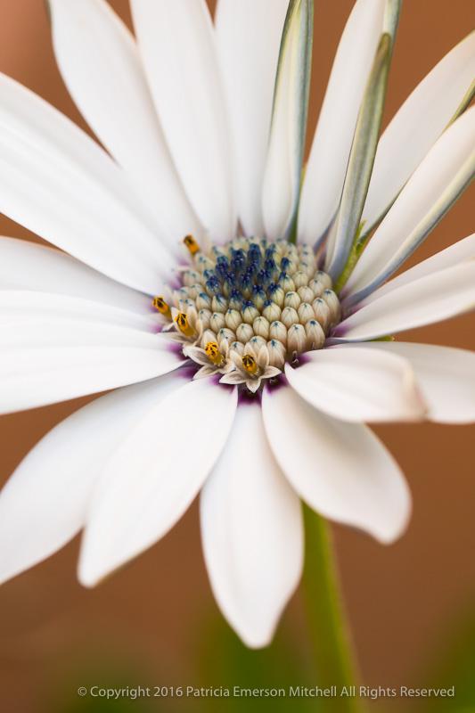 White_Osteospermum_(I),_11.22.16.jpg