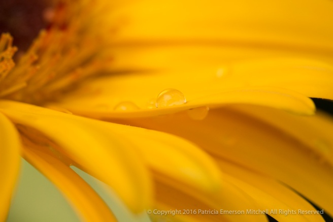 Yellow_Gerbera_(I),_11.21.16.jpg