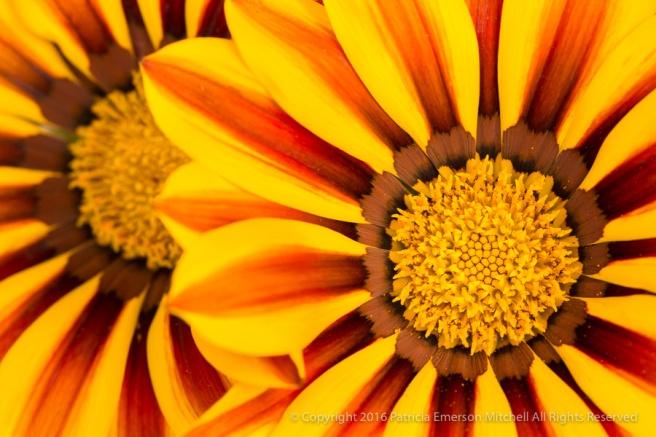 Yellow,_Orange_&_Brown_Gazania,_11.10.16.jpg