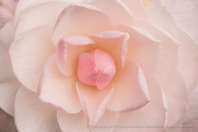 Pale_Pink_Camellia_(I),_12.14.16.jpg