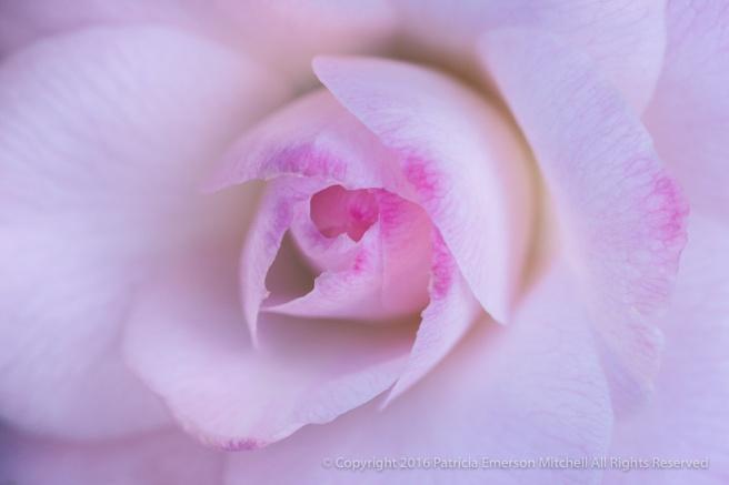 Pink_Camellia_(I),_12.27.16.jpg