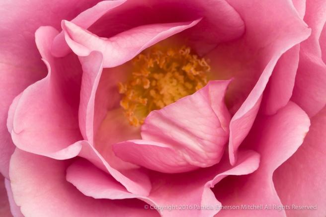 Pink_Rose (III),_12.12.16.jpg