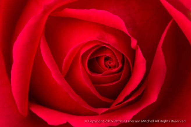 Red_Rose,_12.22.16.jpg