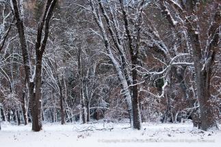 Snow on Trees, Yoesmite, 12.31.15
