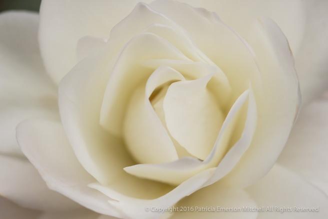 UCI_White_Rose_(II),_11.26.16.jpg