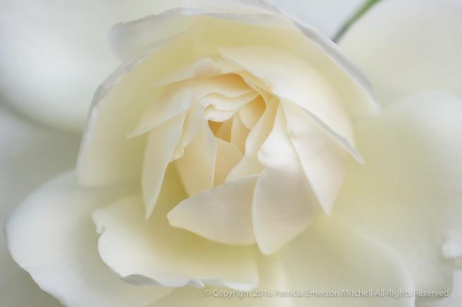 White_Rose,_10.31.16.jpg