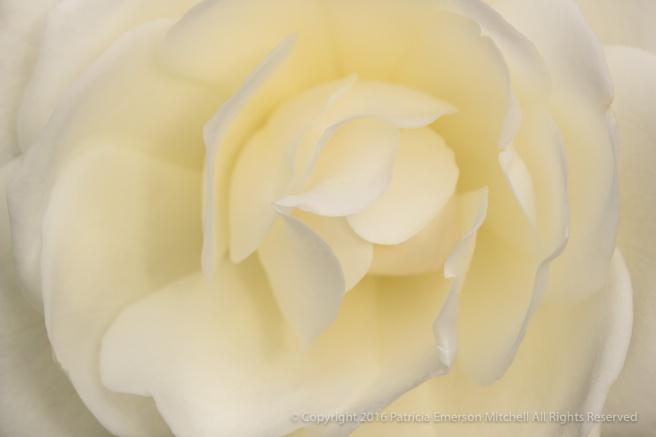 White_Rose_(I),_12,13.16.jpg