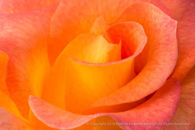 Yellow,_Orange_and_Pink_Rose,_11.15..16.jpg
