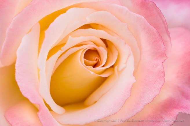 Dew_Drops_on_a_Pink_and_Yellow_Rose,_11.7.16.jpg