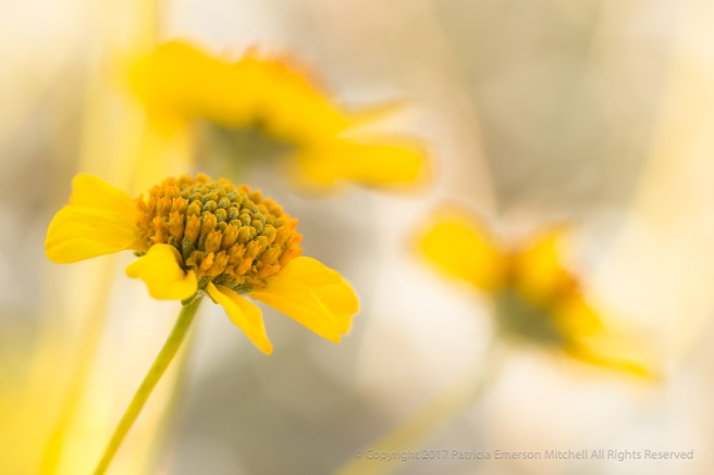 Encelia_farinosa_(I),_3.29.16.jpg