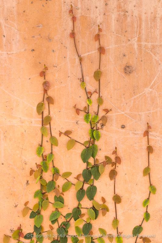 Ficus_pumila,_12.20.16.jpg